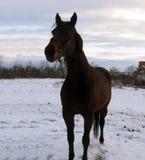 Horse, Bridle, Stallion, Mane