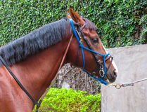 A horse with a bridle Stock Images