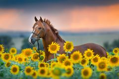 Horse in bridle in sunflowers. Red stallion in bridle portrait in sunflowers summer field against sunset rainн sky background stock photo