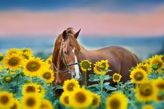 Horse in bridle in sunflowers. Red stallion in bridle portrait in sunflowers summer field against sunset rainн sky background royalty free stock photography