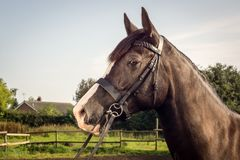 Horse with bridle Royalty Free Stock Photos