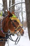 Horse with bridle on winter day. A close-up side view of a brown horse wearing a bright multi-coloured bridle and harness with pink and blue bells. Its a winter stock photography