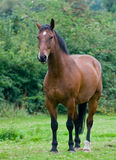 Horse, Brown Royalty Free Stock Photography