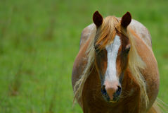 Horse. A brown horse with blonde mane Stock Photo