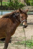 Horse. Brown horse breed in Thailand Stock Image