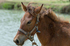 Horse. Brown horse breed of Thailand Stock Photo
