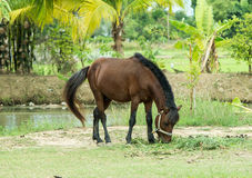 Horse. Brown horse breed in Thailand Stock Photography
