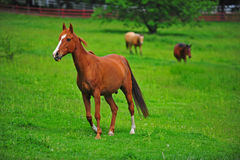 Horse brown colt. A beautiful brown colt walking through a pasture with two mare's in the background royalty free stock images
