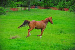 Horse brown colt. A beautiful brown colt running off through a lush green pasture stock image