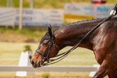 Horse brown dressage chews on long reins. A horse goes relaxed after a dressage test on the long reins of the tournament course Stock Image