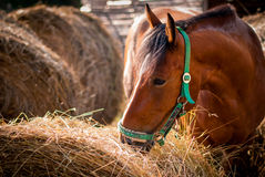 Horse. Brown horse eating hay outdoors Stock Image
