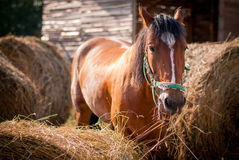 Horse. Brown horse eating hay outdoors Royalty Free Stock Image