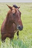 Horse brown Stock Image