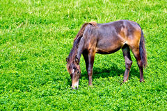 Horse brown on grass Stock Photography