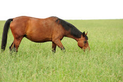 Horse. Brown horse grazing on the luscious meadow Stock Photo