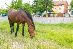 The Horse. The Brown Horse on the green meadow Stock Photography