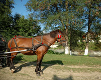 Horse. Brown horse harnessed to carts Stock Photography