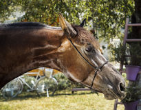 Horse with a brown mane stands on a background of green leaves. Brown horse with a brown mane stands on a background of green leaves Royalty Free Stock Image