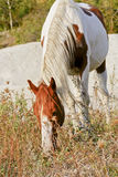 Horse with brown spots and a white mane eating grass Royalty Free Stock Photo