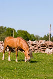 Horse browse Stock Photography