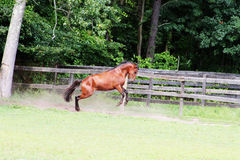 Horse bucking Stock Photography