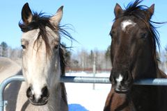Horse Buddies Royalty Free Stock Photo