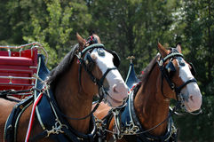 Horse and buggy. Two clydesdale horses with a red buggy stock image