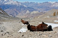 Horse cadaver abandoned in Himalaya mountains. Left for predators and vultures stock image