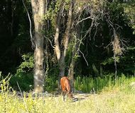 A horse calmly browsing ahead of forest. Brown horse calmly browsing on a sunny meadow, ahead of forest Royalty Free Stock Images