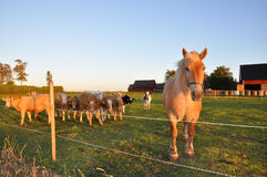 Horse and calves Royalty Free Stock Images