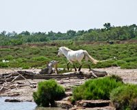 Horse in the Camargue Stock Image