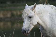 Horse Camargue breed Stock Image