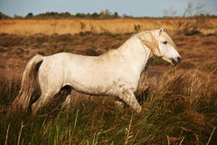 Horse of Camargue. White horse of Camargue horizontally in the countryside Stock Photography
