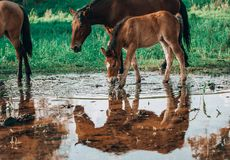 Horse came to the river to drink water. Horse and foal came to the river to drink water royalty free stock images