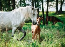 Horse came to the river to drink water. Horse and foal came to the river to drink water royalty free stock photos