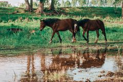 Horse came to the river to drink water. Horse and foal came to the river to drink water stock images