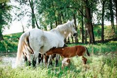 Horse came to the river to drink water. Horse and foal came to the river to drink water royalty free stock image