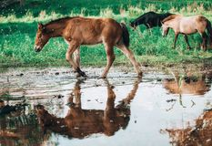 Horse came to the river to drink water. Horse and foal came to the river to drink water stock image