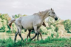 Horse came to the river to drink water. Horse and foal came to the river to drink water stock photography