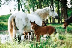 Horse came to the river to drink water. Horse and foal came to the river to drink water stock photos