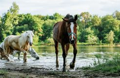 Horse came to the river to drink water. Horse and foal came to the river to drink water royalty free stock photography