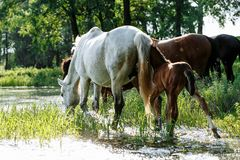 Horse came to the river to drink water. Horse and foal came to the river to drink water royalty free stock photo