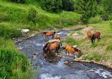 Horse came to the river to drink water. Carpathian Ukraine Stock Image