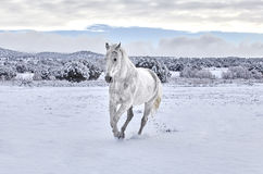 Horse cantering in Snow Stock Images