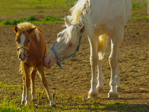 Horse caring for her foal Royalty Free Stock Photography