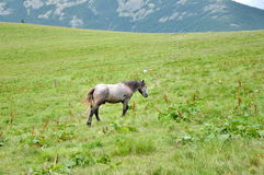 Horse, Carpathian Mountains. Horse grazing in the meadow among the Carpathian Mountains. Karpaty, Ukraine Royalty Free Stock Photos