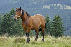Horse in the Carpathians Stock Images