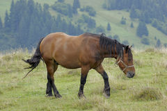 Horse in the Carpathians Royalty Free Stock Photo