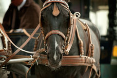 Horse in carriage Stock Images