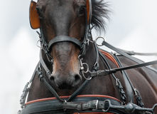 Horse in carriage amunition Royalty Free Stock Images